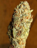 Cannabis Chronic Hybrid 50% Sativa 50% Indica